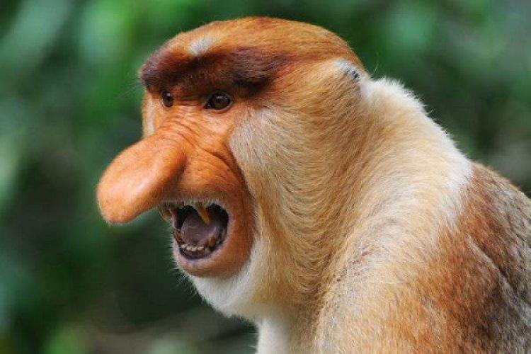 Удивительный «Носач» – самая необычная обезьяна с огромным носом