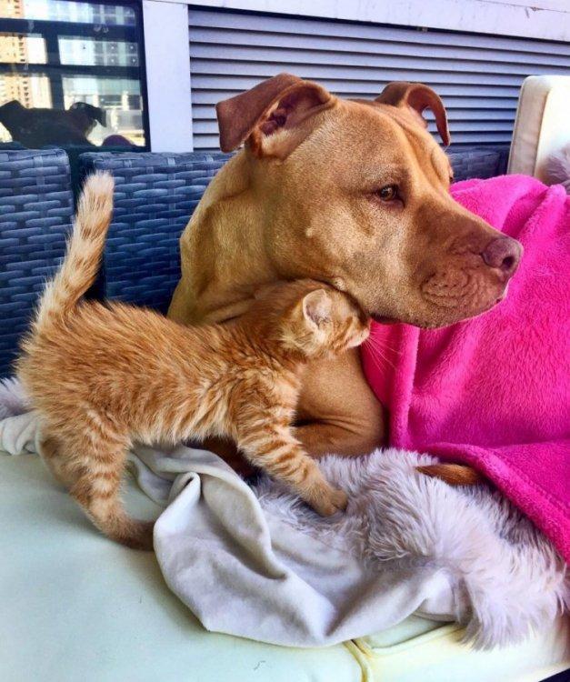 11 фото питбуля и его любимого маленького котёнка