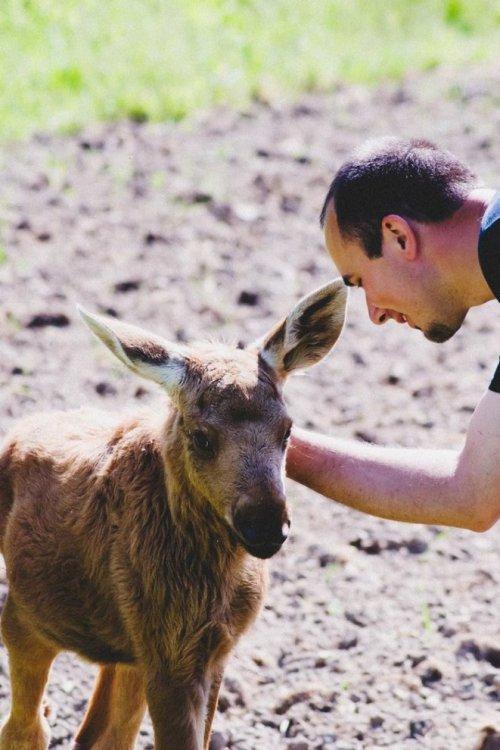 Спасённая лосиха и литовец: трогательная история о человечности