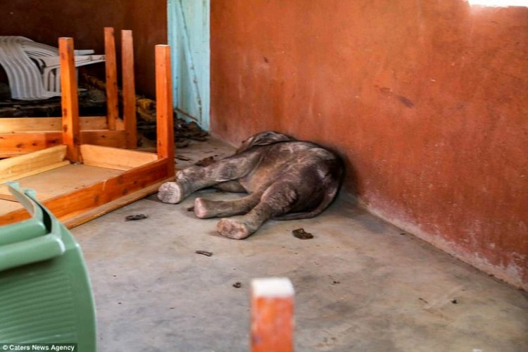 Слоновья благодарность: трогательные кадры любви спасенного человеком слона