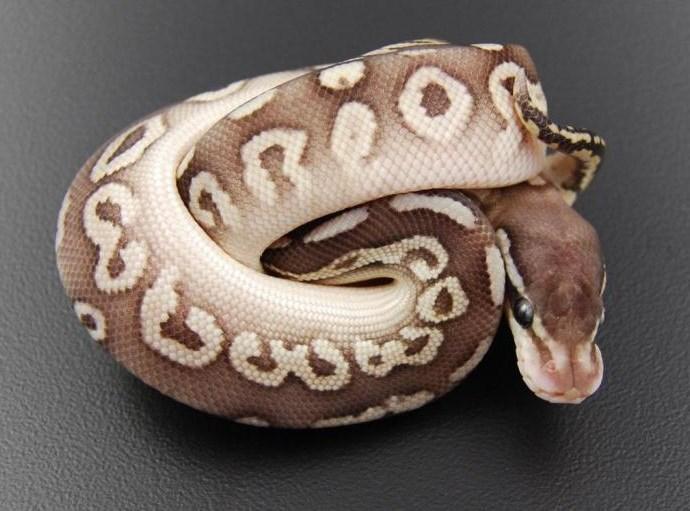 Каких змей можно заводить в качестве домашнего животного?