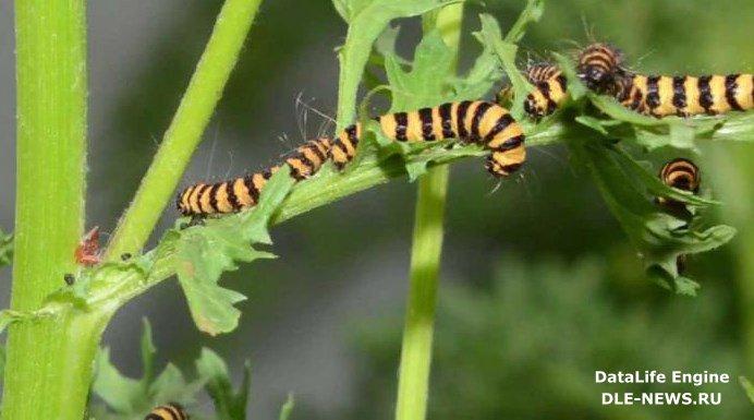 Растения, которые превращают гусениц в каннибалов