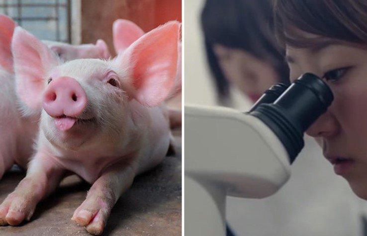 Созданы свиньи-Франкенштейны с человеческими органами 2