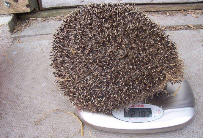 В Шотландии толстого ежа посадили на диету 3