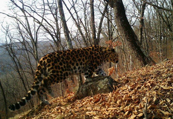 В Приморье амурский тигр напугал автомобилиста 2