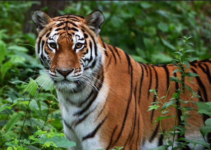 В Приморье амурский тигр напугал автомобилиста 5