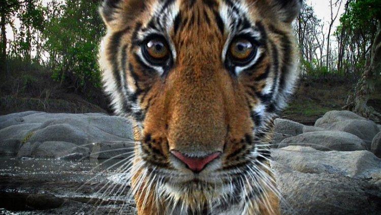 В Приморье амурский тигр напугал автомобилиста 3