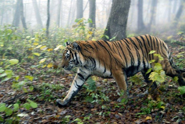 В Приморье амурский тигр напугал автомобилиста 4