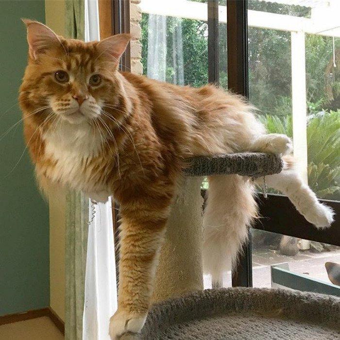 Назван самый длинный кот на планете