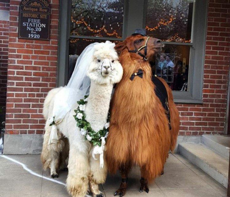 Хотите оригинальных ведущих на вашей свадьбе? Пригласите лам